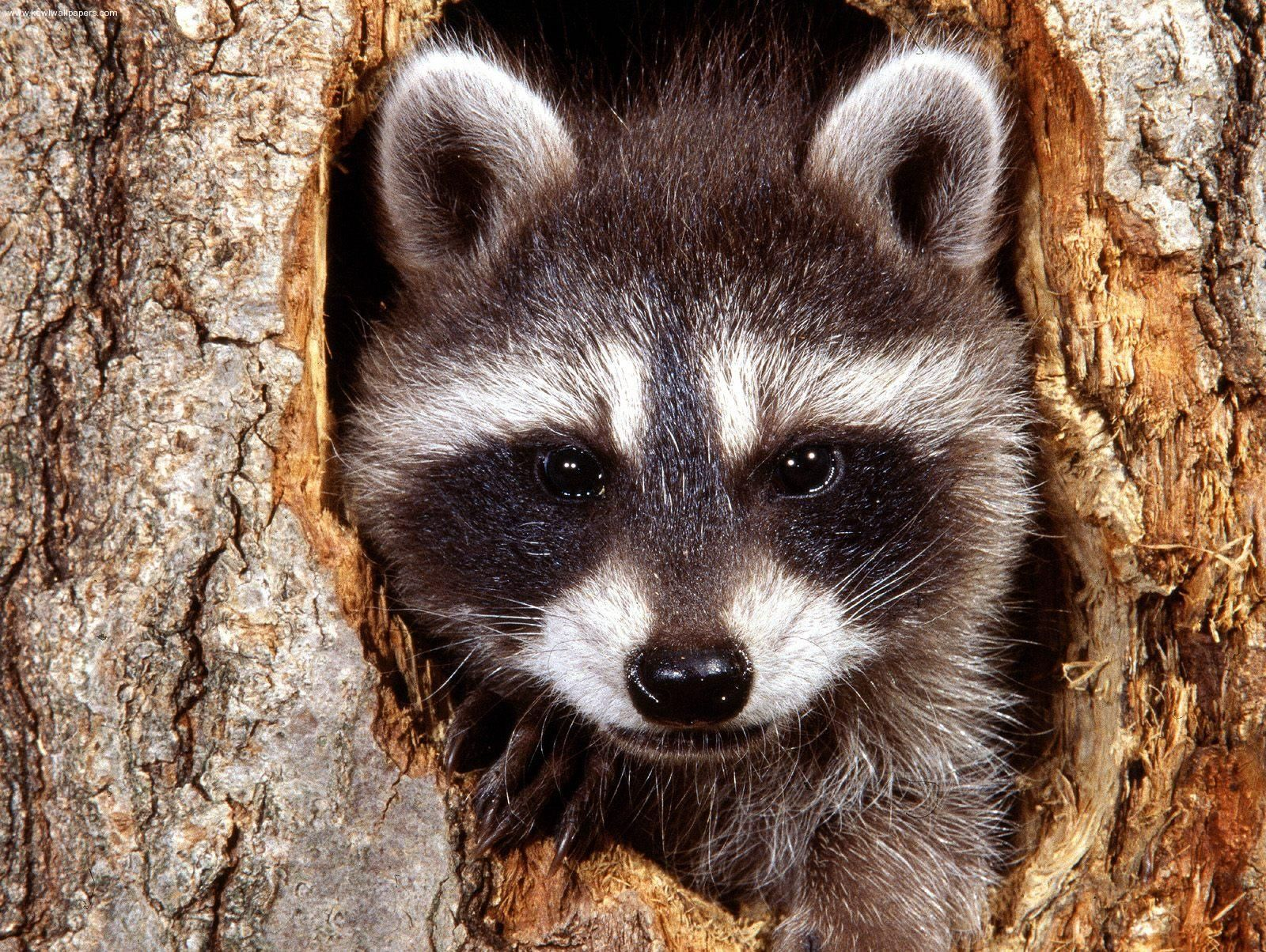 Google Image Result For Http Www Free Pet Wallpapers Com Free Pet Wallpapers Free Pet Desktop Backgrounds 665227061 Jpg With Images Cute Raccoon Cute Animals Animals