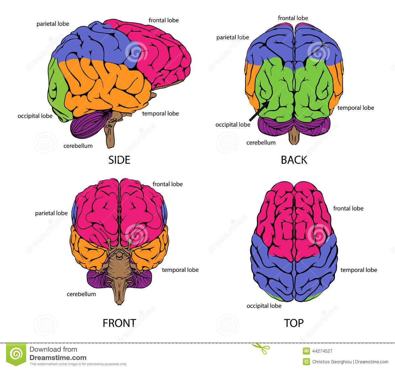 Image result for brain frontal view labeled | Human brain ...
