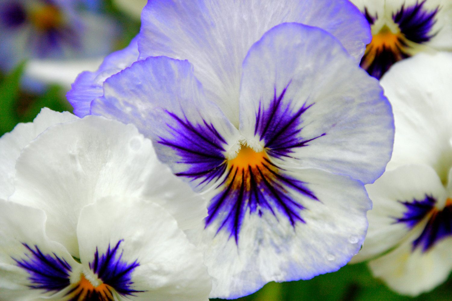 Hottest Cost Free White Pansies Ideas Pansies Are The Colorful Flowers With Faces A Cool Weather Favorite Pansies Are Ideal For Bo Costfree Cicek Menekse