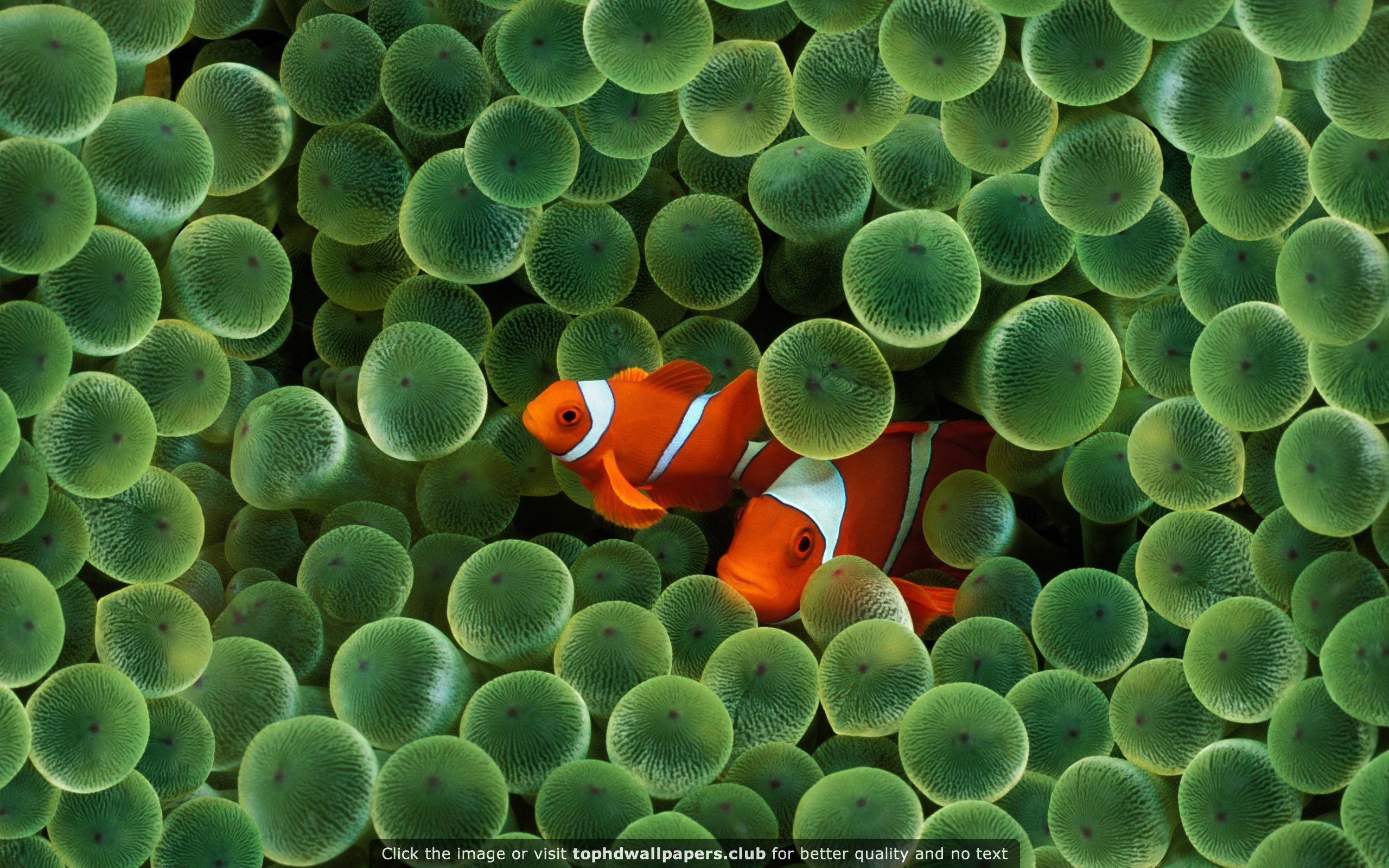 Apple Fish Hd Widescreen Hd Wallpaper For Your Pc Mac Or Mobile