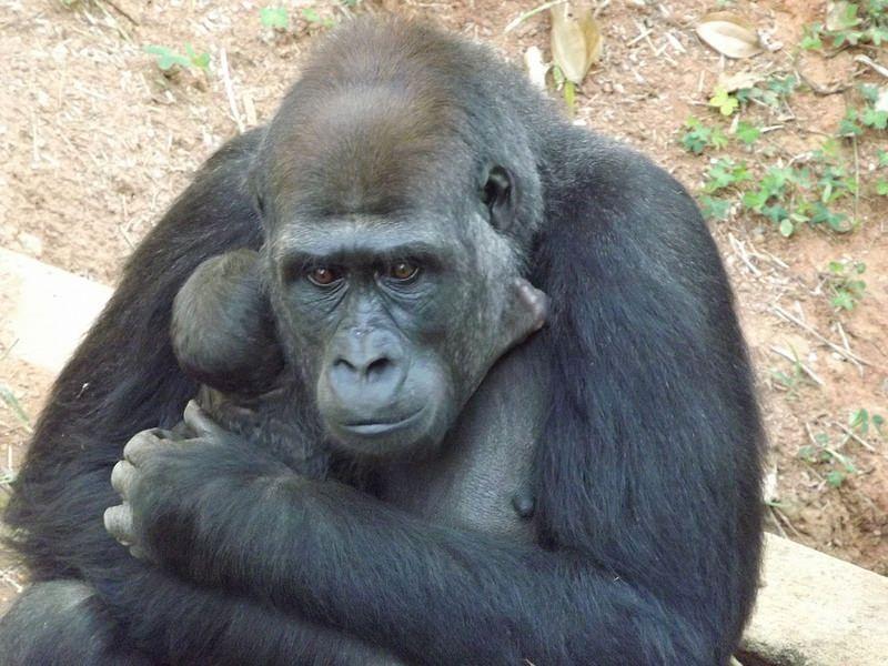 Filhote de gorila na FZB-BH - Foto Suziane Fonseca 05.08.2014  (9)
