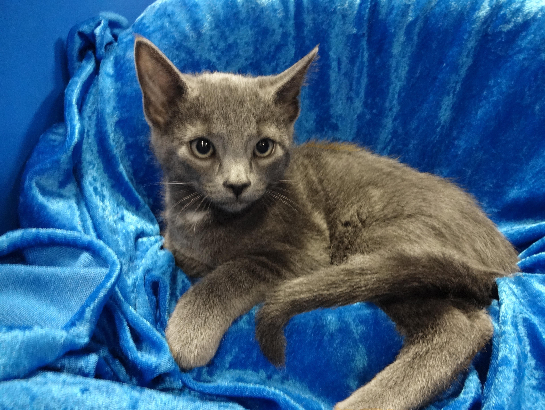 Adopt Nora On Petfinder Russian Blue Russian Blue Cat Cat Adoption