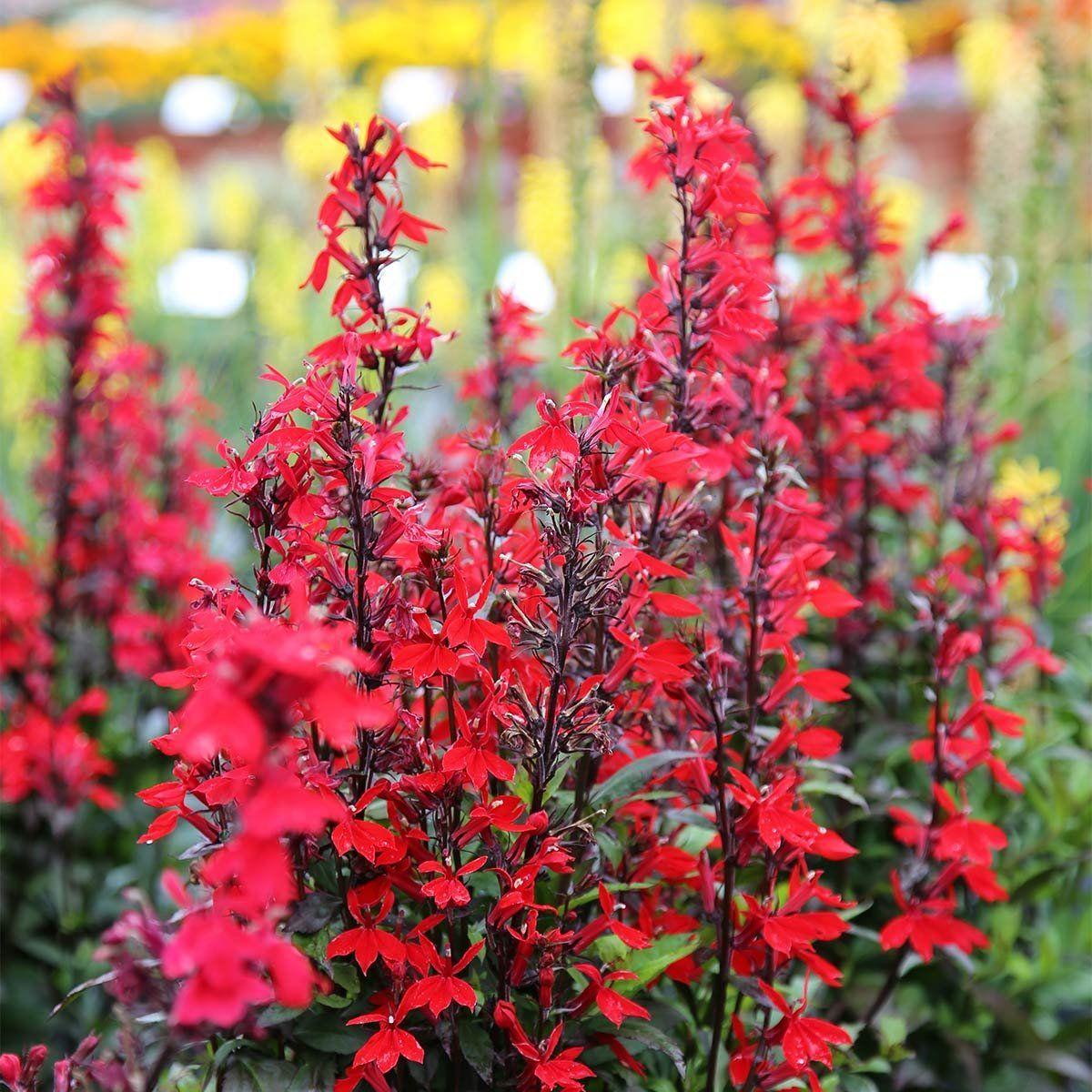 Kardinals Lobelie 3 Pflanzen In 2020 Winterharte Pflanzen Garten Pflanzen Gartenpflanzen Winterhart