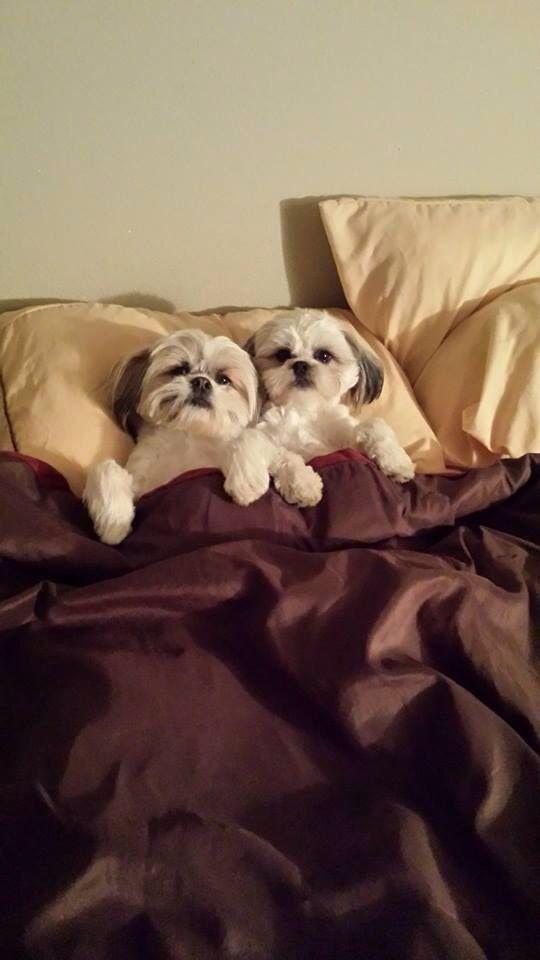 6 Problems Only Shih Tzu Owners Will Understand Shih Tzu Puppy