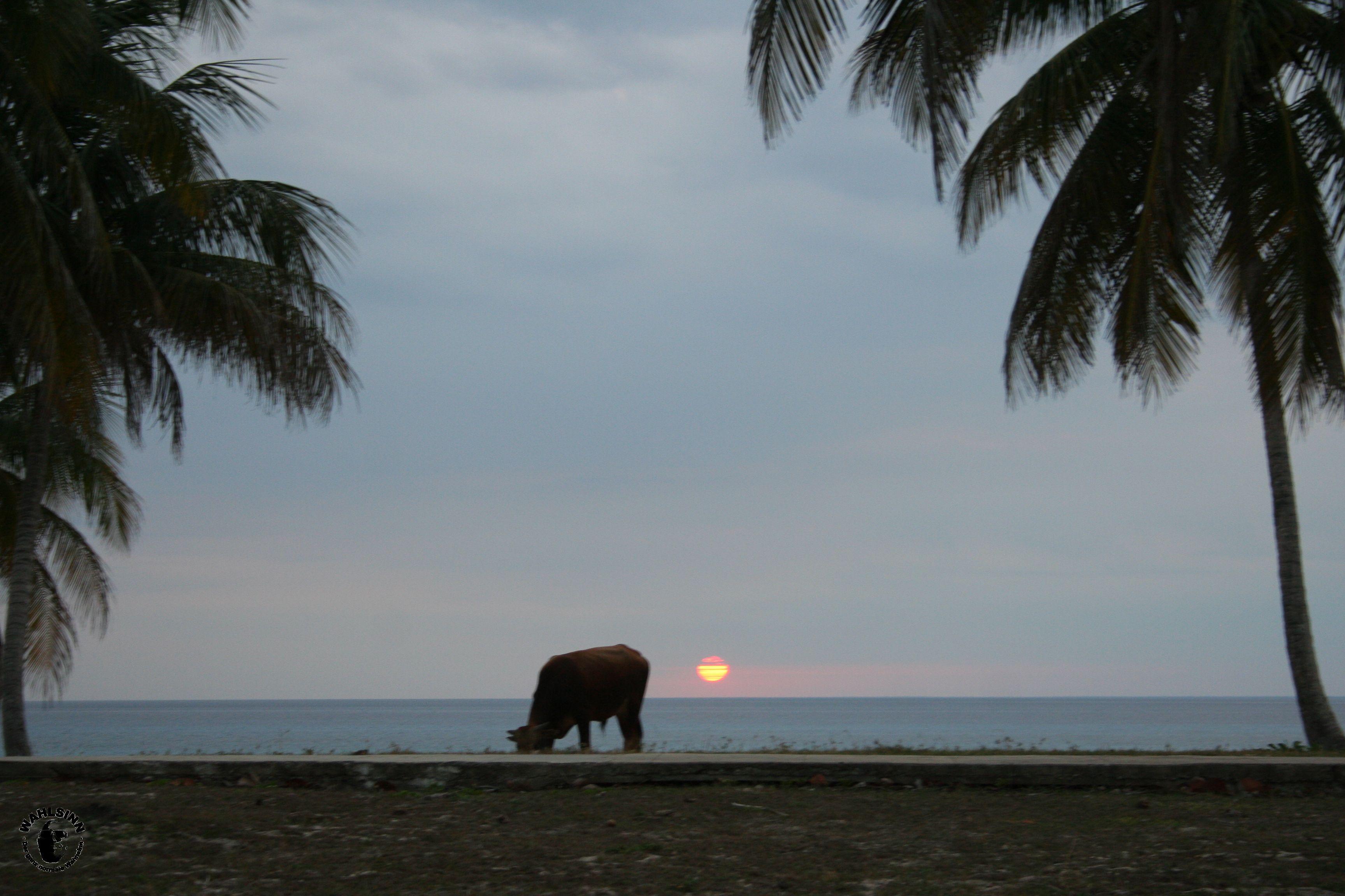 Kuh am Strand // Maria La Gorda (Kuba)
