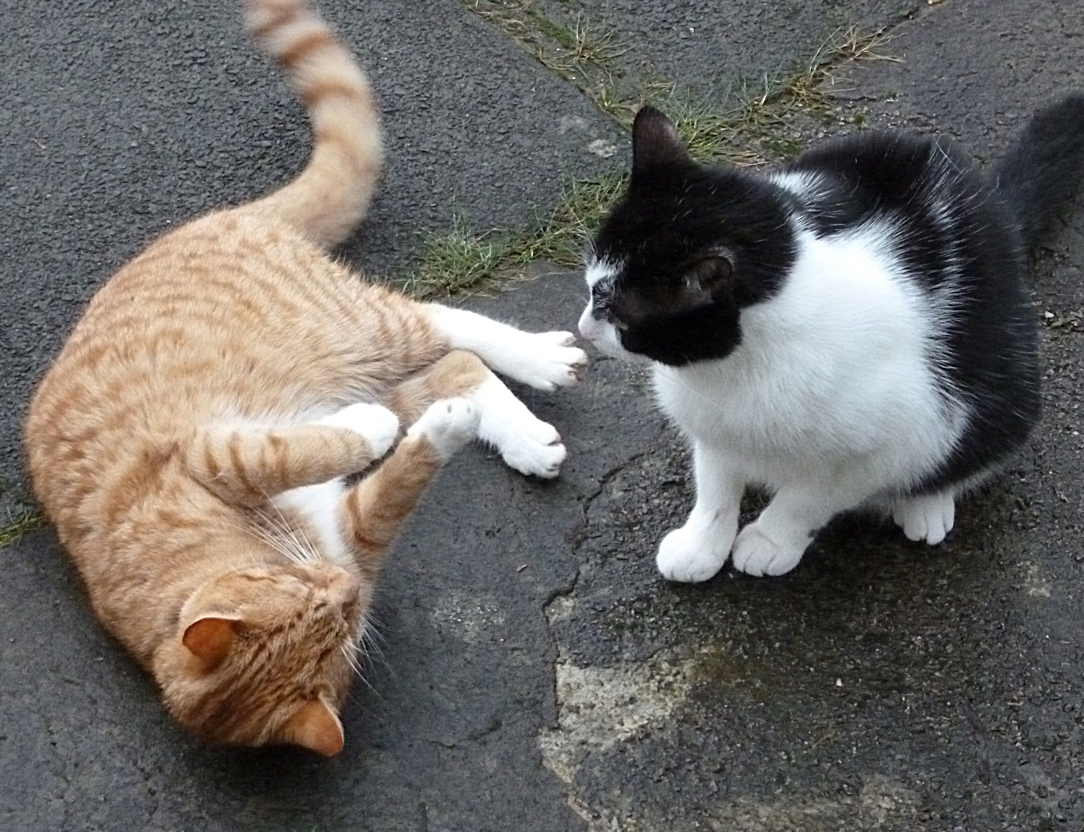 Ginger And Tom At Play Cute Cats Animals Cats And Kittens