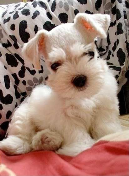 Adorable Little Baby Schnauzer Puppy