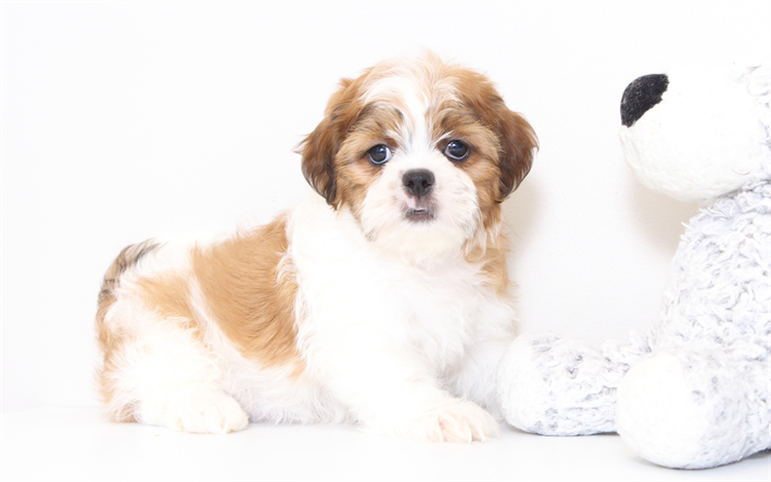 Download Wallpapers Shih Tzu Puppy Small Cute Dog White Brown Puppy Pets Besthqwallpapers Com Shih Tzu Puppy Shih Tzu Puppies For Sale