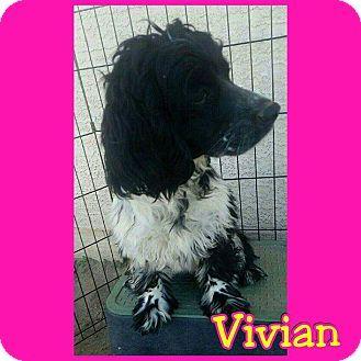 Mesa Az Cocker Spaniel Mix Meet Vivian A Puppy For Adoption Http Www Adoptapet Com Pet 14529444 Mesa Cocker Spaniel Mix Puppy Adoption Kitten Adoption