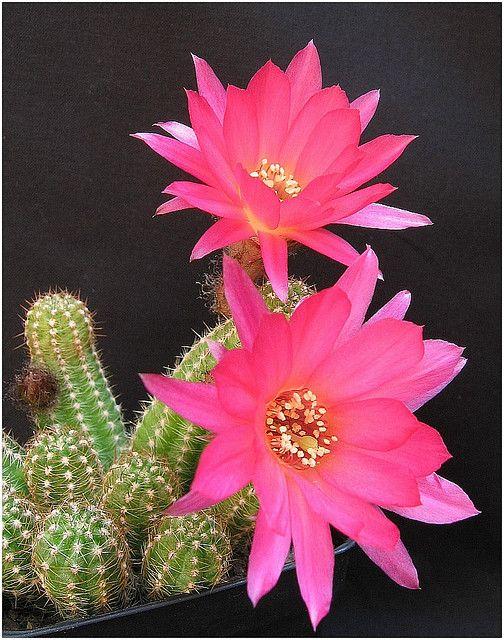Chamaecereus Silvestrii Hybrid Cactus