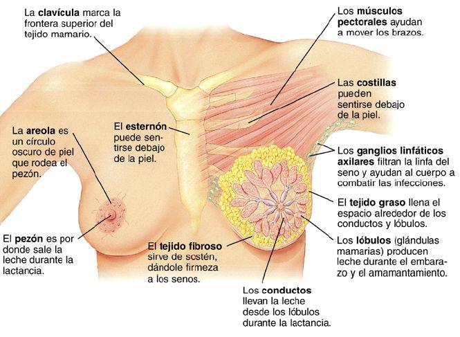 Vista frontal del pecho de una mujer, donde puede verse la anatomía ...