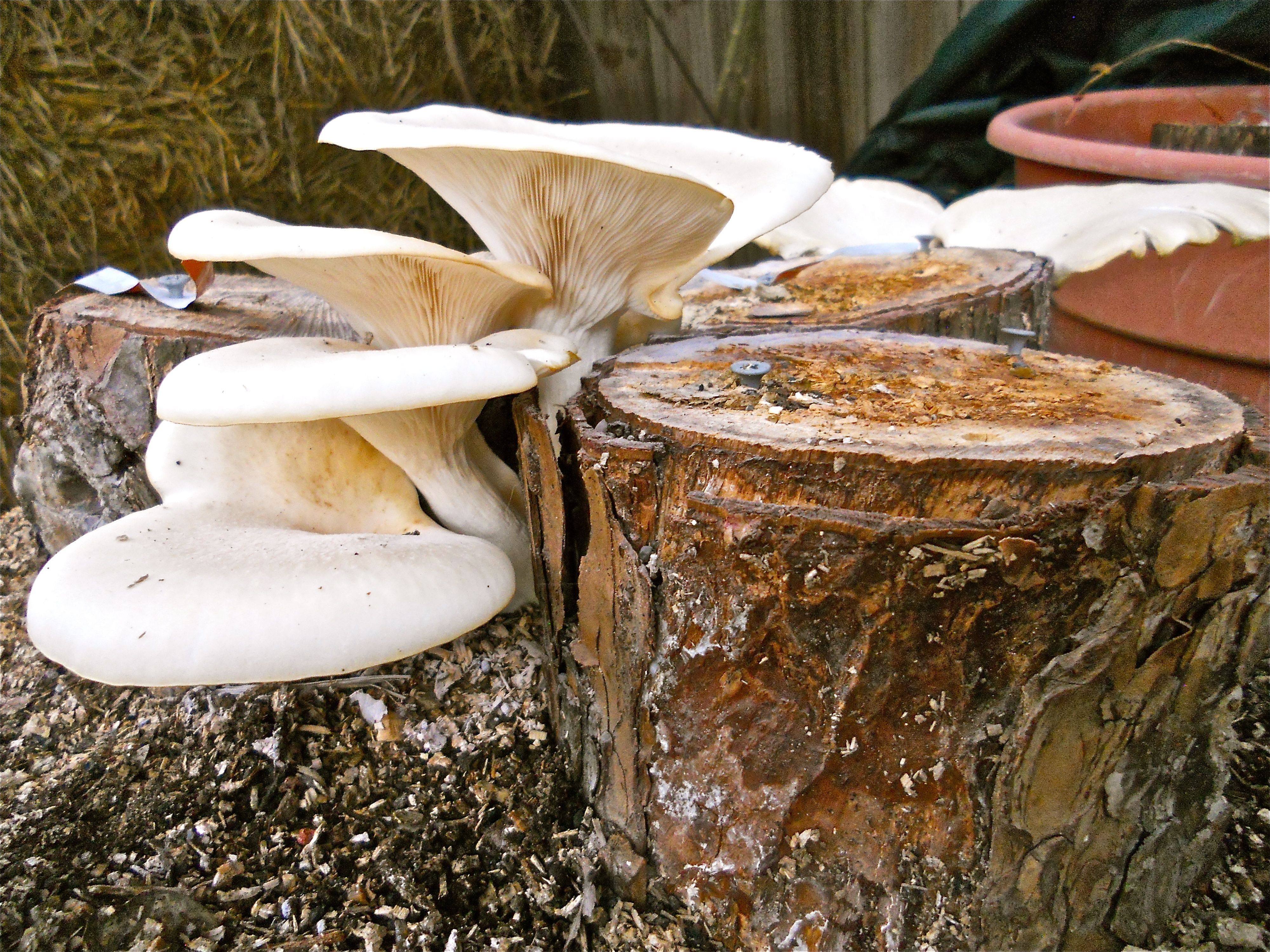 A cook 39 s favorite elm oyster mushrooms growing on tree stumps with 100th monkey mushroom log - Growing oyster mushrooms profit ...