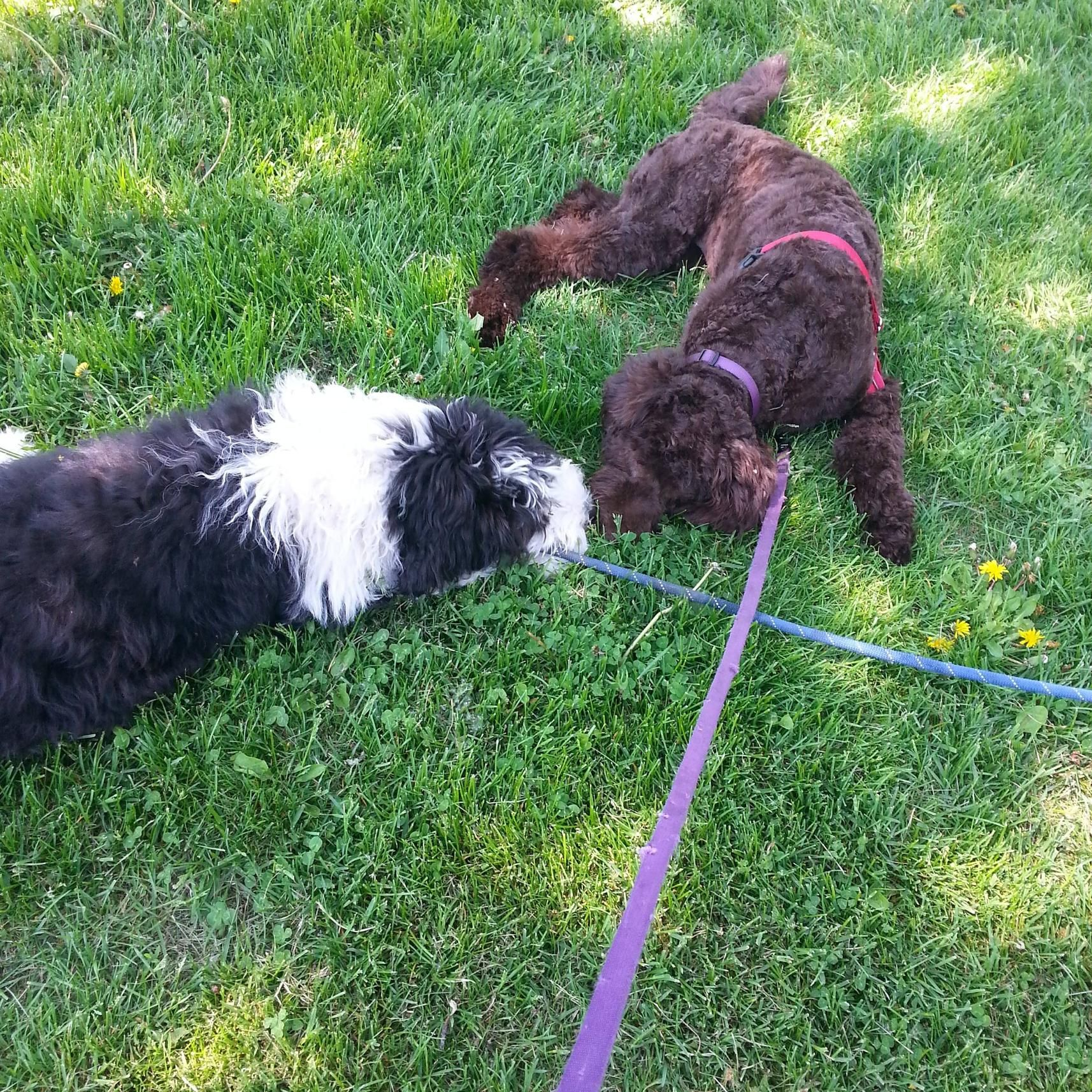 Two puppers in love at the park