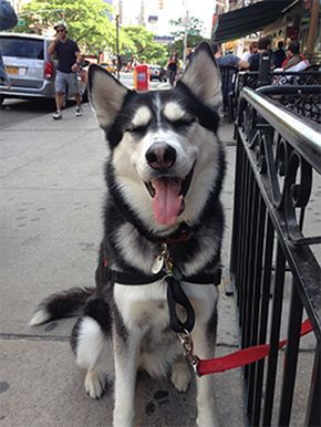 10 Things Only A Siberian Husky Owner Would Understand Siberian