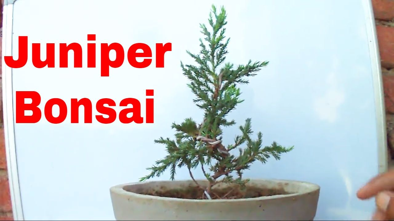 How To Start Juniper Bonsai Tree Wiring Your 9