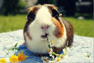 Guinea Pig BreedsThere are many different breeds of guinea pigs from long haired to shorter haired varieties. Some owners suggest that a particular breed of guinea pig may have a different personality compared to other types