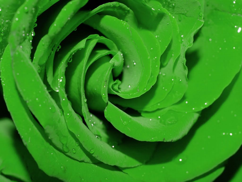 The Meaning And Top 19 Beautiful Green Roses Green Flowers