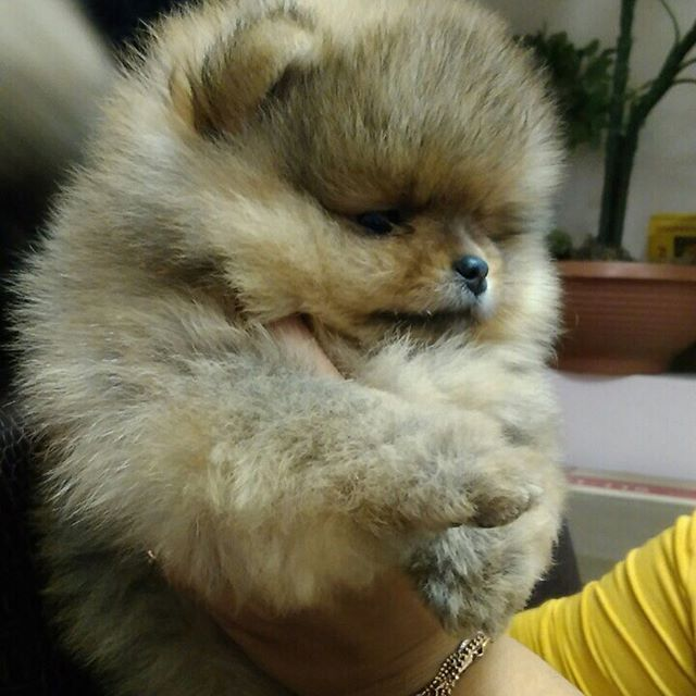 Pomeranian Puppies For Sale Get Pics And Price On Animaux Chien