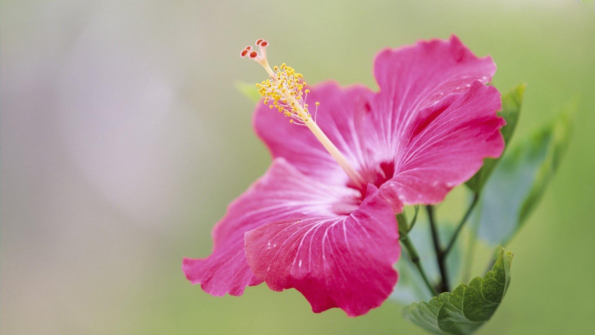 Hd Wallpaper Flower Download Hibiscus Plant Pink Flowers Wallpaper Hibiscus Flower Meaning