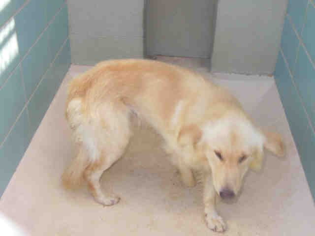Lost Found Fluffy Id A1553551 This Is An Unaltered Male Yellow Golden Retriever Staff Named Me Fluffy If This Is Animal Shelter Animals Humane Society