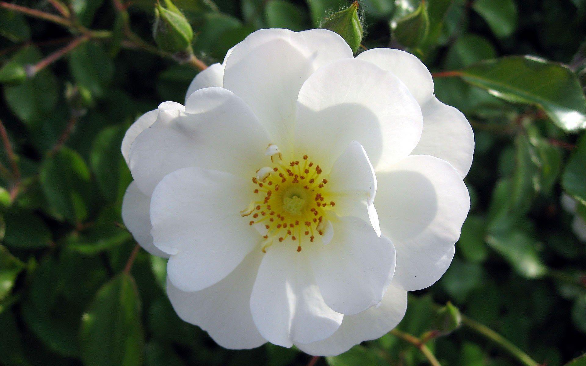 صور ورود بيضاء في غاية الروعة والجمال White Rose Flower Rose Flower Wallpaper Types Of White Flowers
