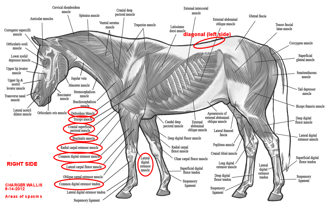 Bodywork Evaluation By Penzance Equine Integrative Solutions Www