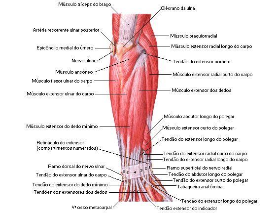 Aula De Anatomia Sistema Muscular Antebraço Músculos