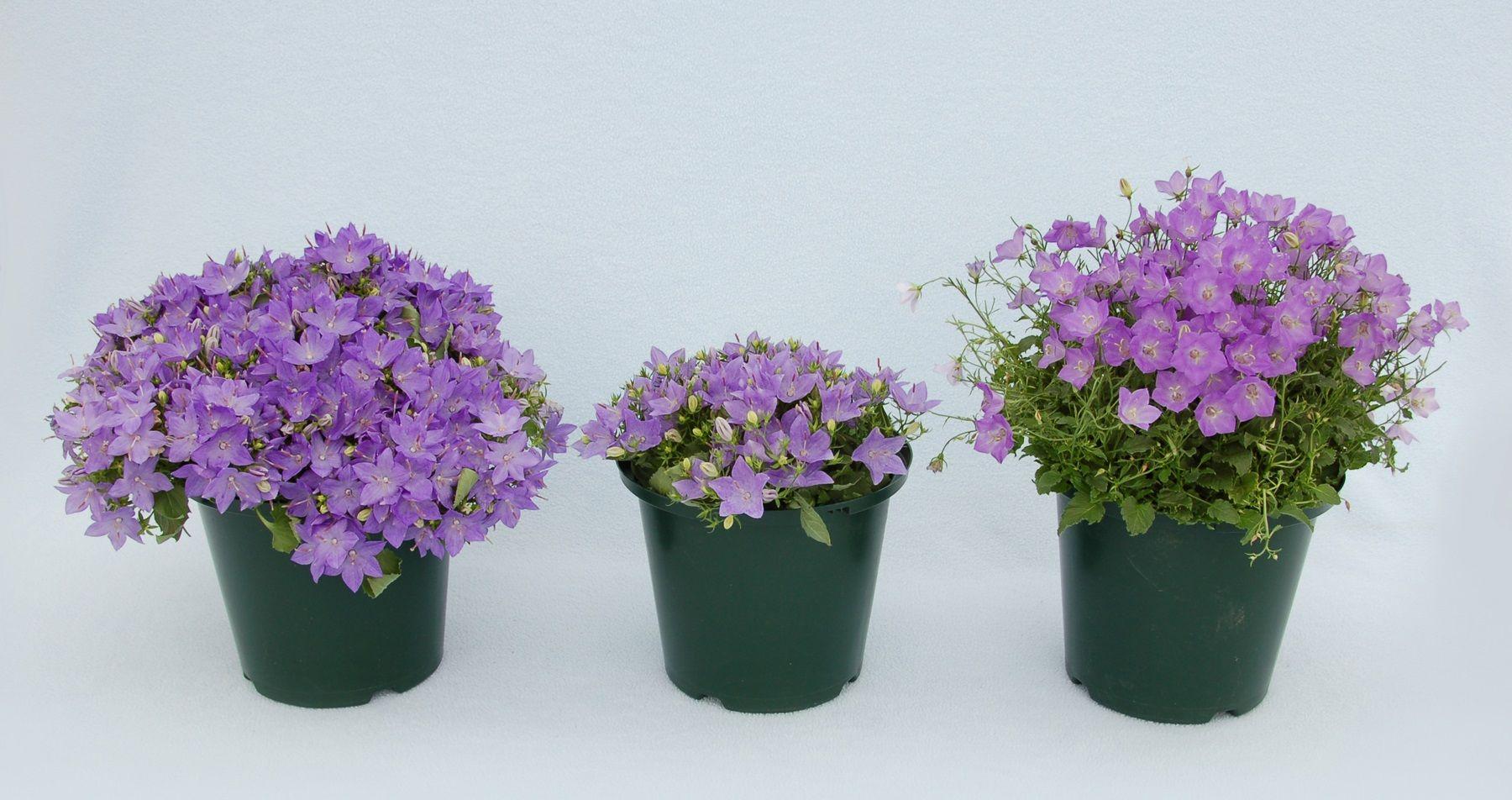 Разновидность цветов лилий фото