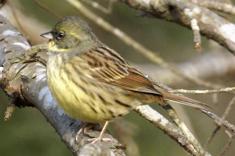 Mengenal Karakteristik Burung Emberiza Muka Hitam Dan Habitatnya Burung Habitat Hitam