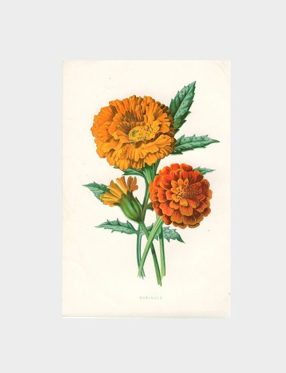 Marigold~counted cross stitch pattern #2207~Vintage Flowers Floral Graph Chart