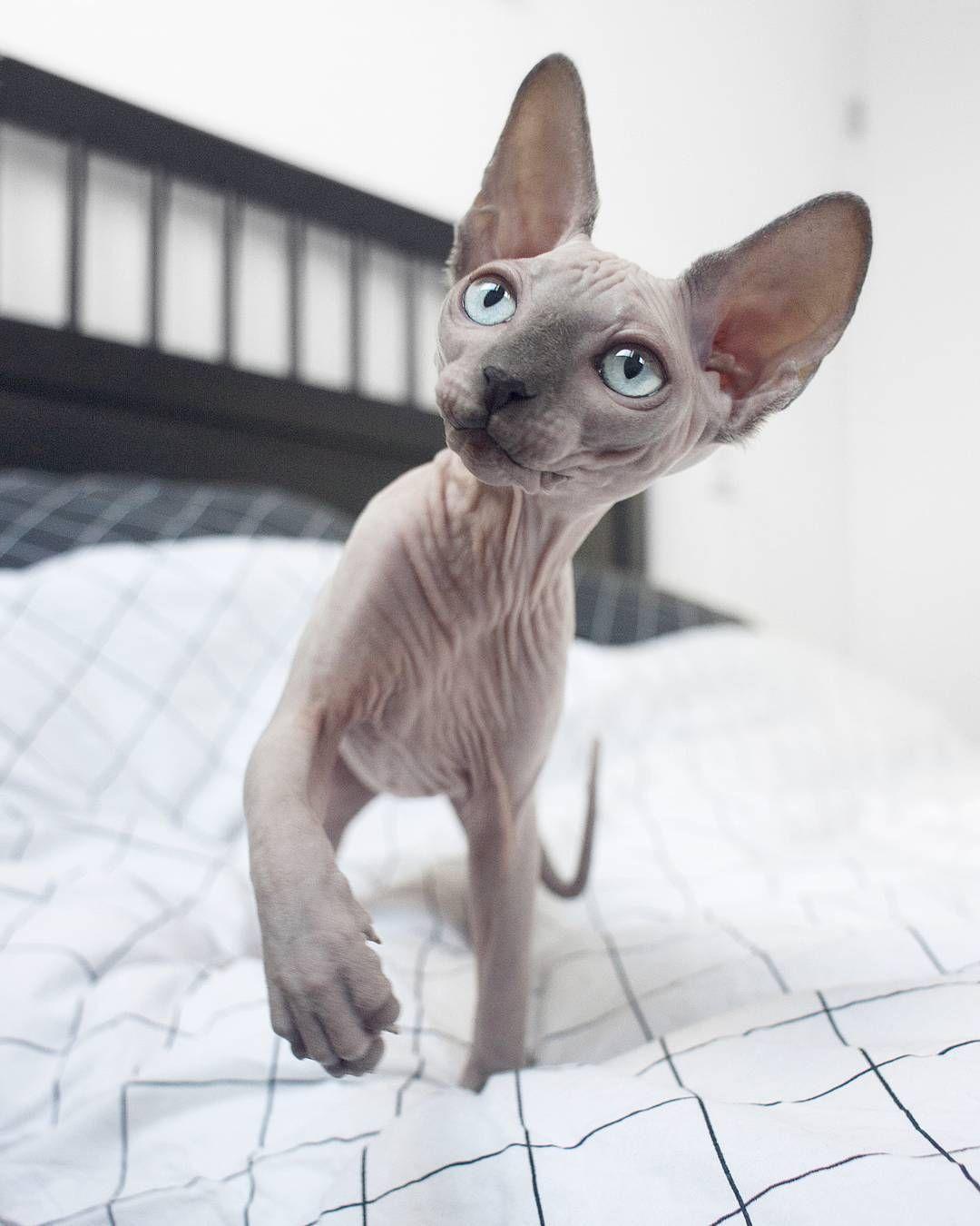 Cream Point Sphynx Kitten Google Search Cute Hairless Cat Cats Hairless Cat