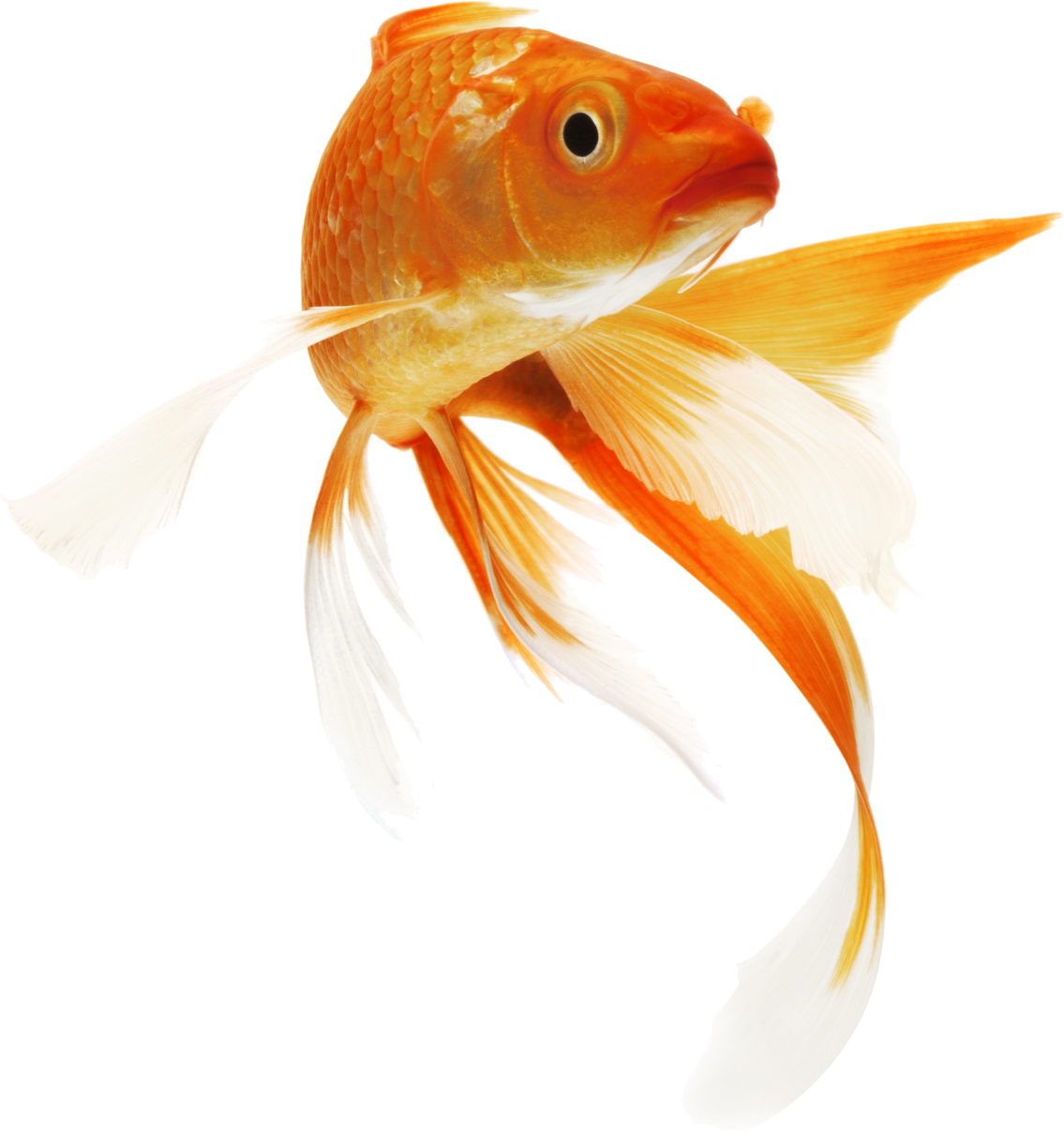 Fish Png Pic Golden Fish Goldfish Koi Carp Fish