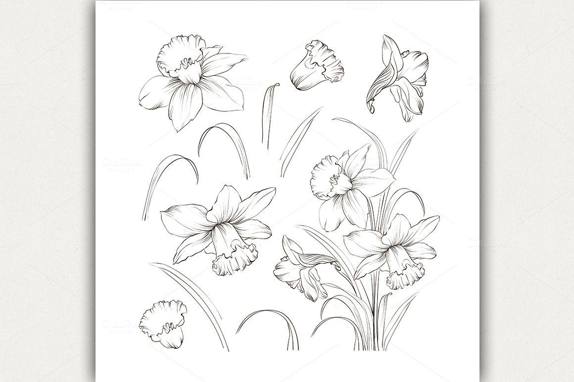 Set of line drawing narcissus illustrations flori