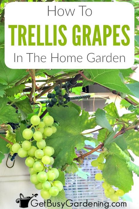 How To Trellis Grapes In Your Home Garden | Grape plant ...