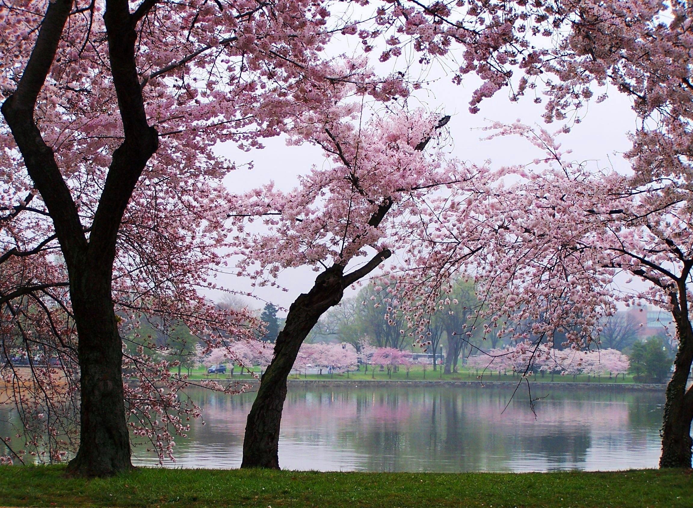 Cherry Blossom Trees To Plant Beautiful Nature Cherry Blossom Tree