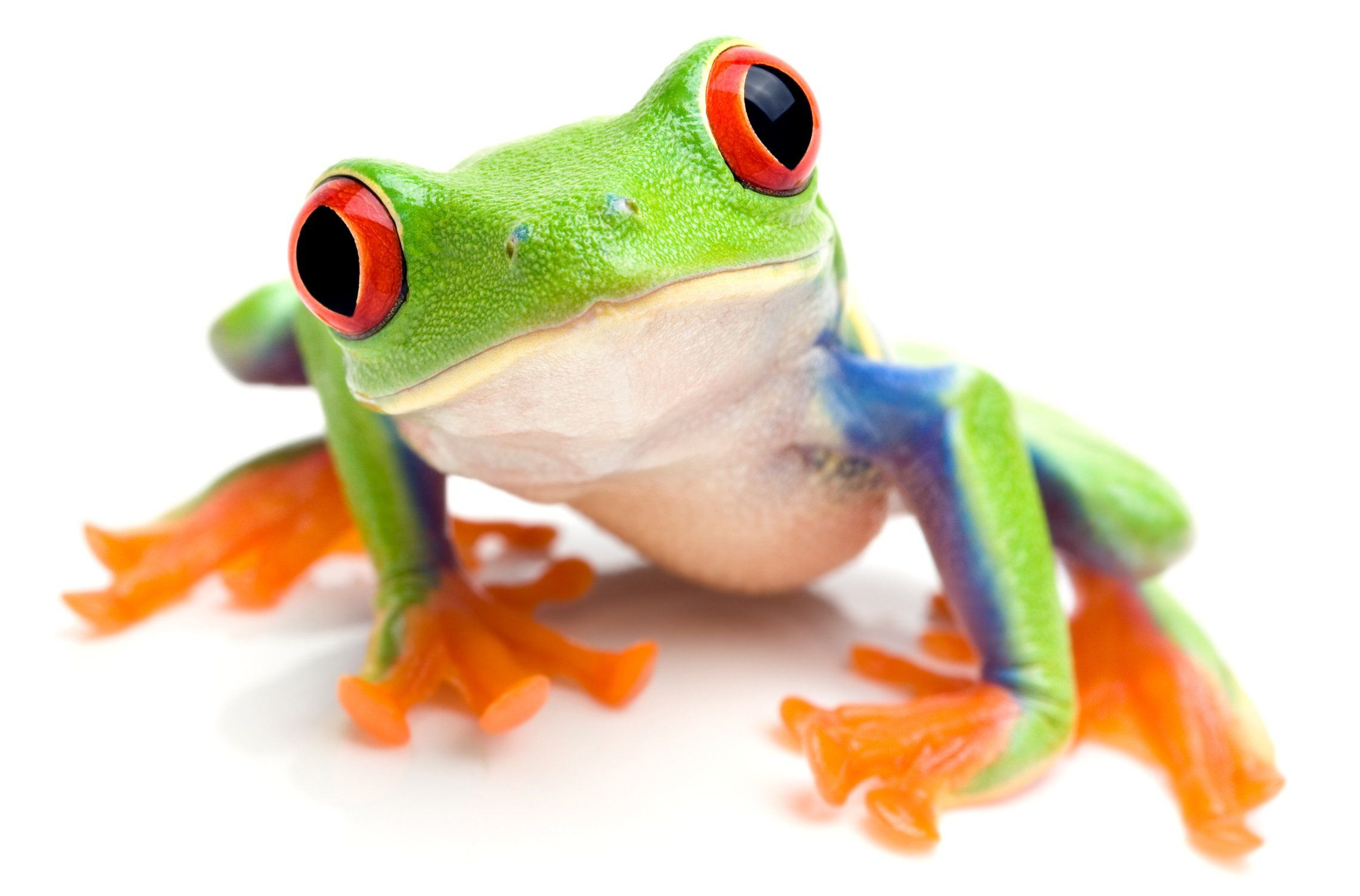 5 Tips for Teacher Voice Care Tree frogs, Red eyed tree