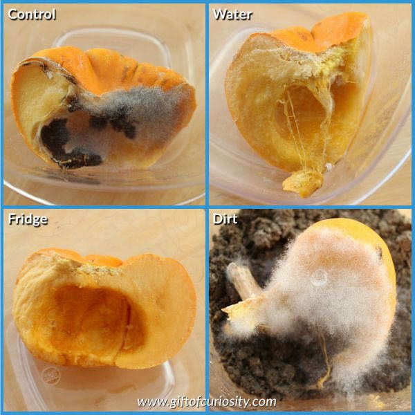 Easy fall science: Pumpkin decomposition experiment