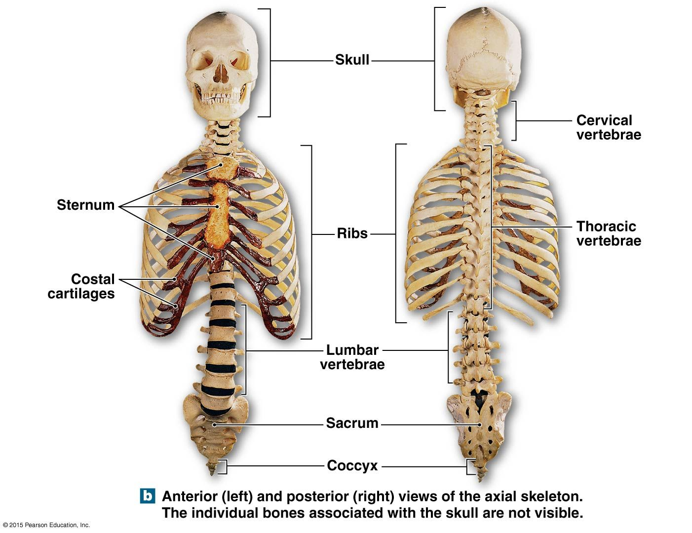 anterioir and posterioir views of the axial skeleton | anatomy and