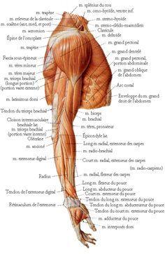 Muscles de l épaule 0a48b45c2c9