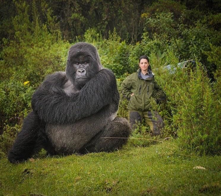 Meet Isabukuru Growing Up Gorilla Is Just Like Any Other Kind