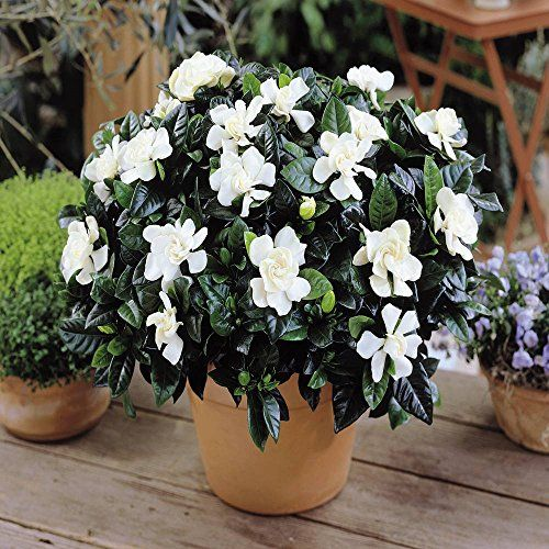 Gardenia Jasminoides 1 Plant Gardens4you Http Www Amazon Co Uk