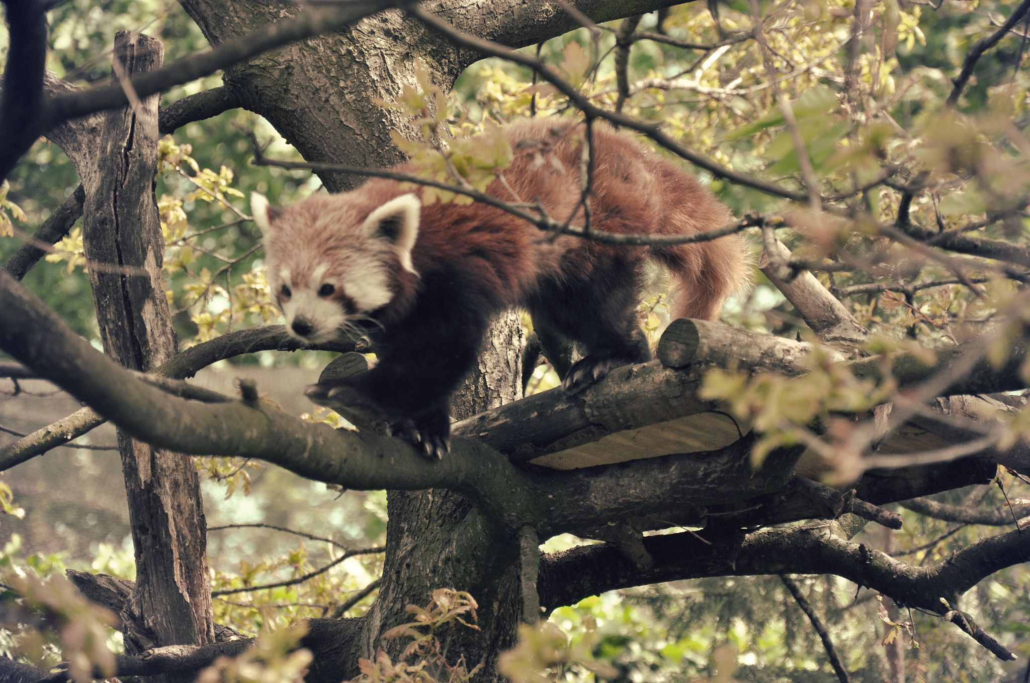 red panda by Beam Phattranit