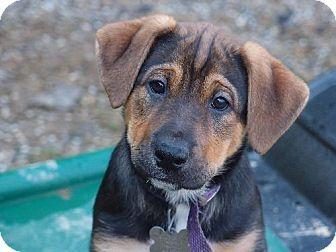 Harrisburg Pa Labrador Retriever German Shepherd Dog Mix Meet