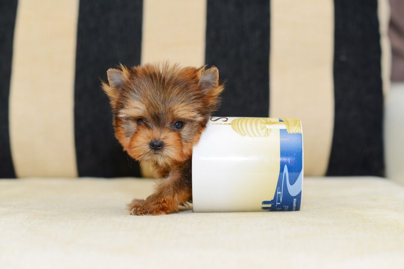 Teacup Puppies Best Teacup Dogs What Is A Teacup Dog