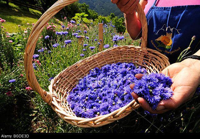 Ms. Mulser harvesting cornflowers, South Tyrolean of the year, herb farm, Pflegerhof farm, Castelrotto, South Tyrol, Italy, Eur Stock Photo