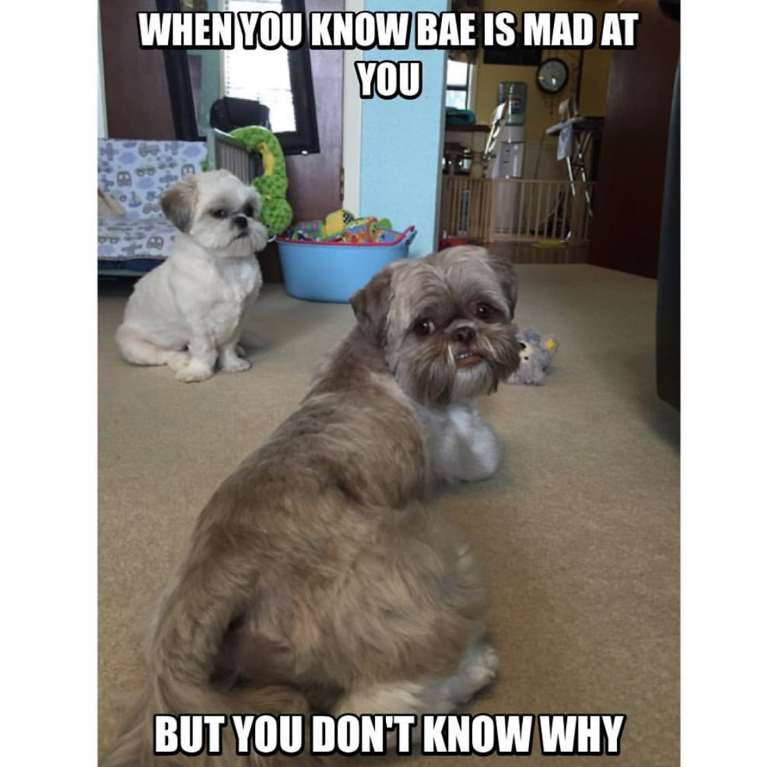 14 Funny Shih Tzu Memes Of All Time The Paws Shih Tzu Funny Shih Tzu Shih Tzu Dog