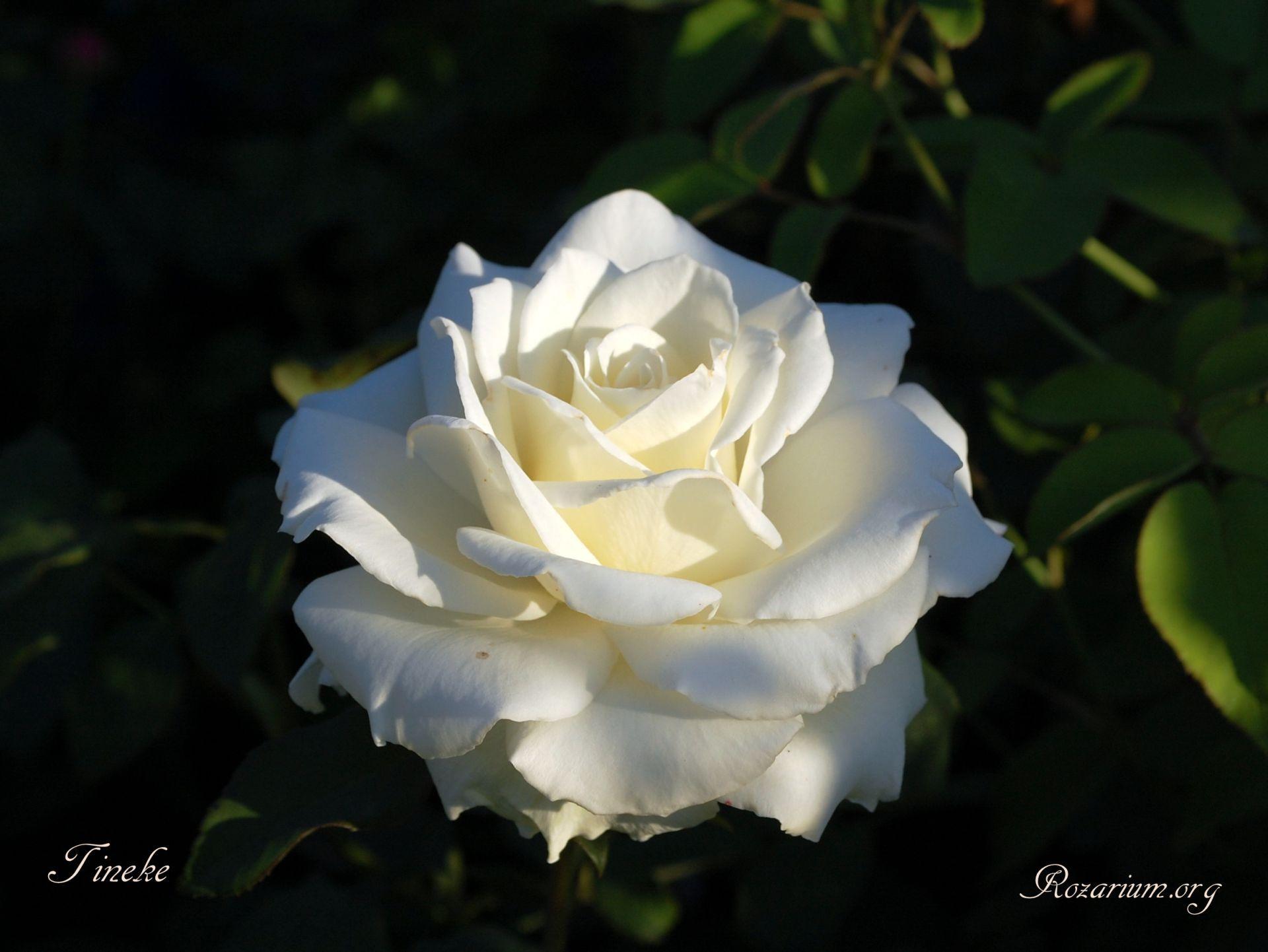 Roza Tineke Rose Photos Rose Flowers