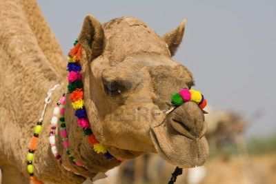 Camel At The Pushkar Fair, Rajasthan, India Royalty Free Stock Photo, Pictures, Images And Stock Photography. Image 16437574.
