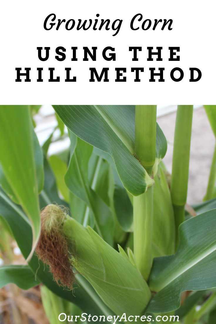 Growing corn using the hill method   Gardening Ideas-FSM ...
