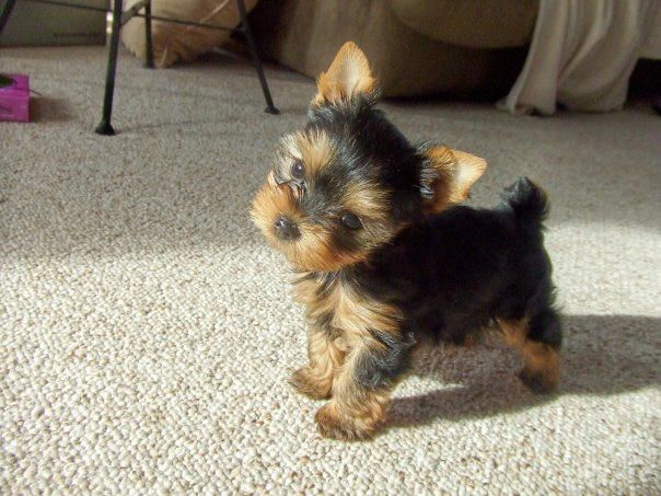 Yorkie OpinionHmmm No I Think The First Pair Of Shoes Worked - Seeing tiny puppies trying to walk for the first time will melt your heart